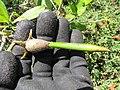 Starr-130703-5581-Rhizophora mangle-seeds-Kealia Pond-Maui (24851741739).jpg