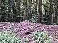Starr-140222-0462-Syzygium malaccense-leaf duff on ground-Hana Hwy-Maui (25240900035).jpg