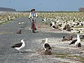 Starr-150331-0987-Coronopus didymus-Kim and bikes with Black Footed and Laysan Albatrosses-South Beach Sand Island-Midway Atoll (24641138614).jpg