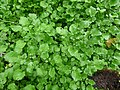 Starr-180909-0775-Nasturtium officinale-leaves-Lower Kula Pipeline Waikamoi-Maui (45815387931).jpg