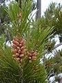 Starr 030419-0164 Pinus radiata.jpg