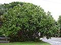 Starr 031108-0130 Ficus lyrata.jpg