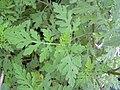 Starr 031108-3169 Ambrosia artemisiifolia.jpg