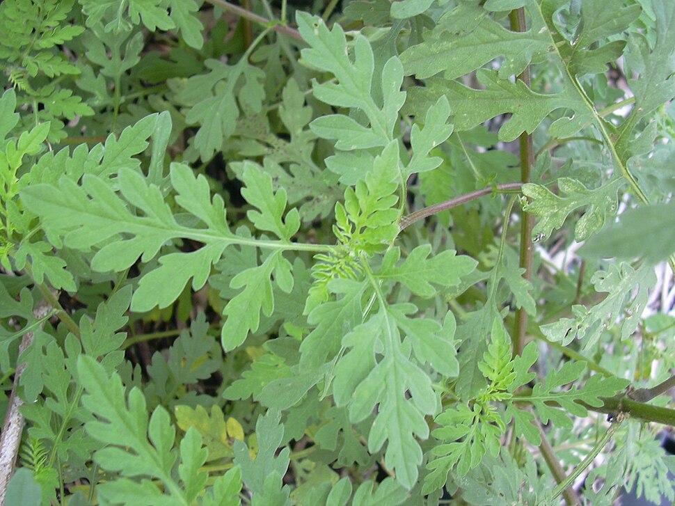 Kietinė ambrozija (Ambrosia artemisiifolia)