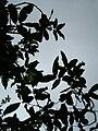 Starr 051029-5106 Alectryon macrococcus var. auwahiensis.jpg