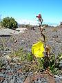 Starr 051202-5594 Oenothera stricta subsp. stricta.jpg