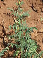 Starr 070124-3922 Solanum lycopersicum var. cerasiforme.jpg