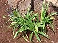 Starr 070221-4778 Agapanthus praecox subsp. orientalis.jpg
