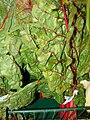 Starr 070730-7872 Beta vulgaris subsp. cicla.jpg