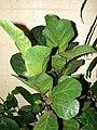 Starr 070906-8755 Ficus lyrata.jpg