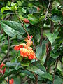 Starr 071121-0025 Hibiscus kokio subsp. saintjohnianus.jpg