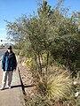 Starr 071224-0478 Prosopis glandulosa.jpg
