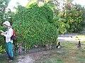 Starr 080601-8957 Coccinia grandis.jpg