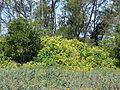 Starr 080604-6092 Hibiscus tiliaceus.jpg