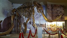 Steppe mammoth skeleton, Azov Museum (2).jpg