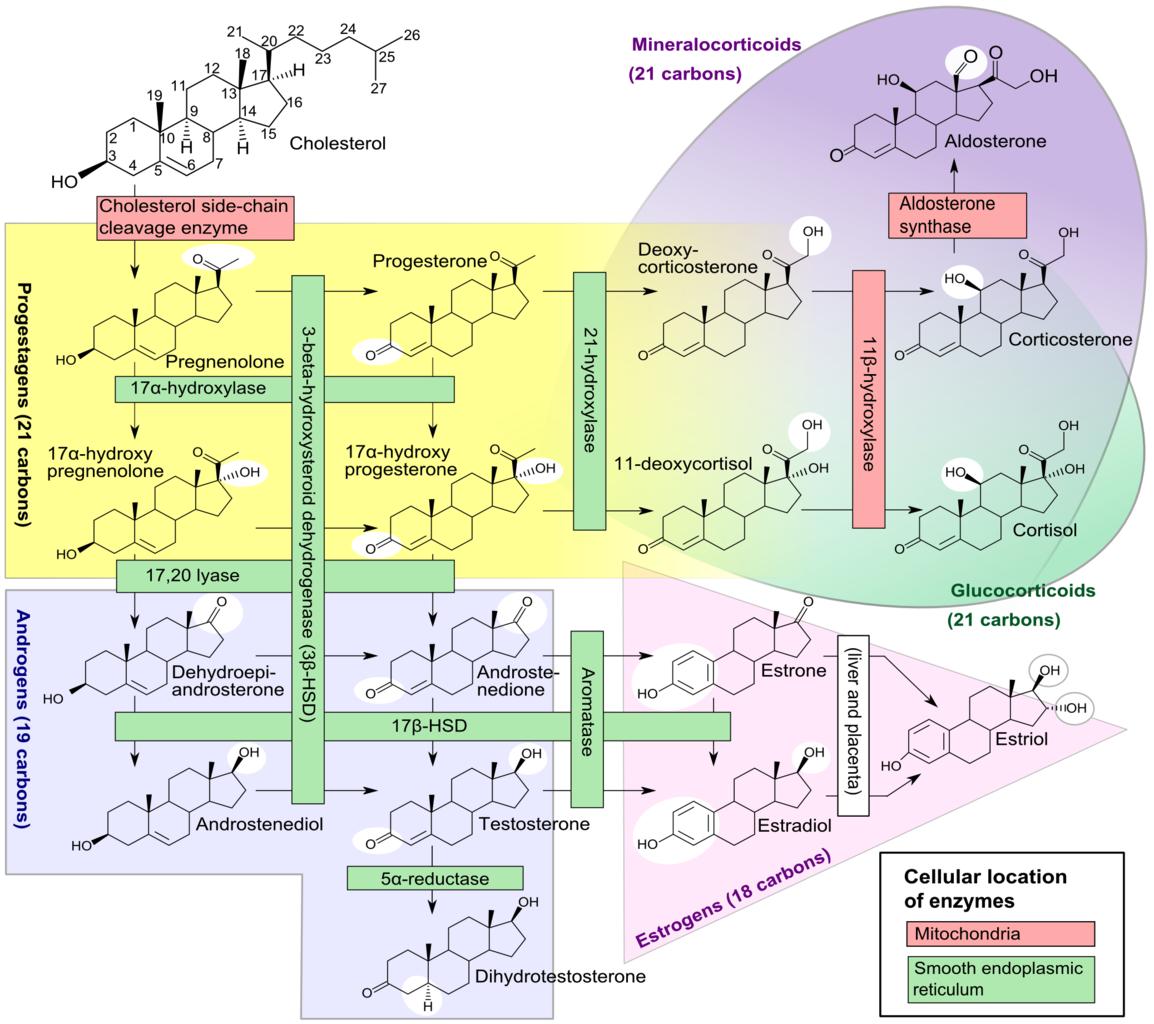 steroid genesis pathway