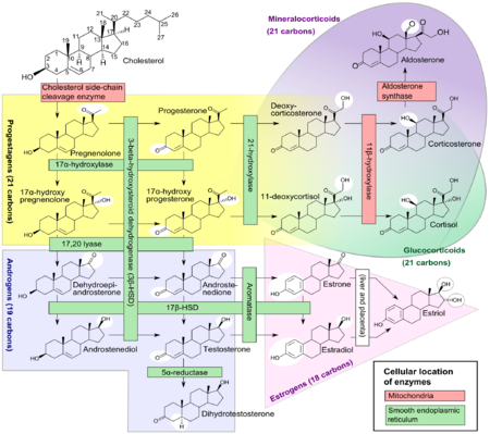 physiology of steroids