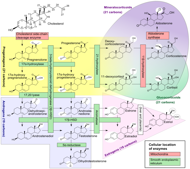 Metabolic pathways for steroid synthesis[1]