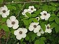 Stewartia malacodendron (6087281344).jpg