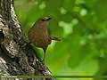 Streaked Laughingthrush (Trochalopteron lineatum) (17505118132).jpg