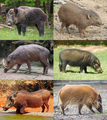 Suidae Collage.png