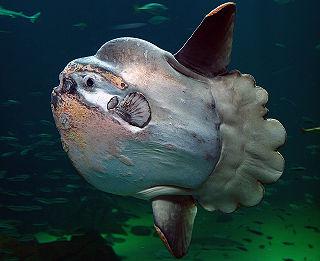 Ocean sunfish species of fish
