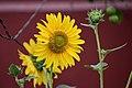 Sunflower (Helianthus) March 2019. DSC 0067 01.jpg