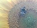 Sunflower Dortmund 22.jpg