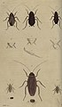 Svensk zoologi vol I 1806 109.jpg
