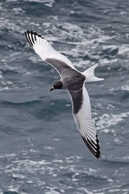 Swallow-tailed-gull-dorsal.jpg