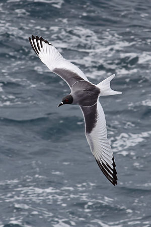 Swallow-tailed gull - Dorsal view