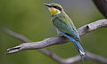 Swallow-tailed bee-eater, Merops hirundineus, at Marakele National Park, Limpopo, South Africa (23568159713).jpg