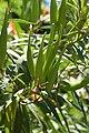 Swamp Milkweed Asclepias incarnata Pod Cluster.jpg