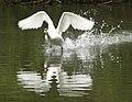 Swan taking off (4611551579).jpg