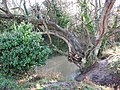 Swollen stream with old tree - geograph.org.uk - 1599375.jpg