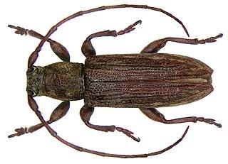 <i>Sybra</i> genus of insects