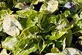 Syngonium podophyllum Golden 2zz.jpg