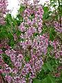 Syringa vulgaris (inflorescence) 02.jpg