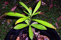 Syzygium pseudofastigiatum seedling.jpg