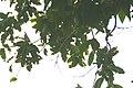 Syzygium samarangense 17zz.jpg
