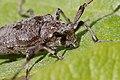 Tømmermann (Acanthocinus aedilis) (4682142139).jpg