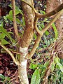 Tabernaemontana citrifolia(tronc).jpg
