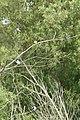 Tachycineta bicolor 3651.JPG