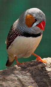 صور طائر الزيبرا فينش Zebra Finch