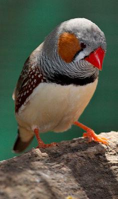 Zebrafink (Taeniopygia guttata)