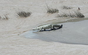 Tekezé River - A crocodile along the Tekezé River