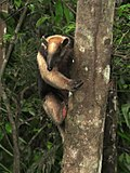 Tamandua cimbing up a tree - Flickr - treegrow.jpg