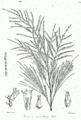 Tamarix articulata Bra7.png