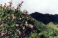 Tarasa mandonii (Malvaceae) Huichupata (Sorata, Bolivie) altitude 3000 m, 6 mai 2000 Photo Pierre-Olivier Combelles.jpg