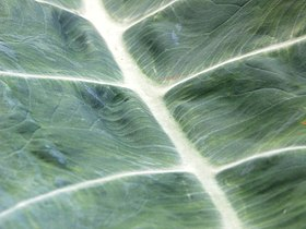 Taro leaf.jpg